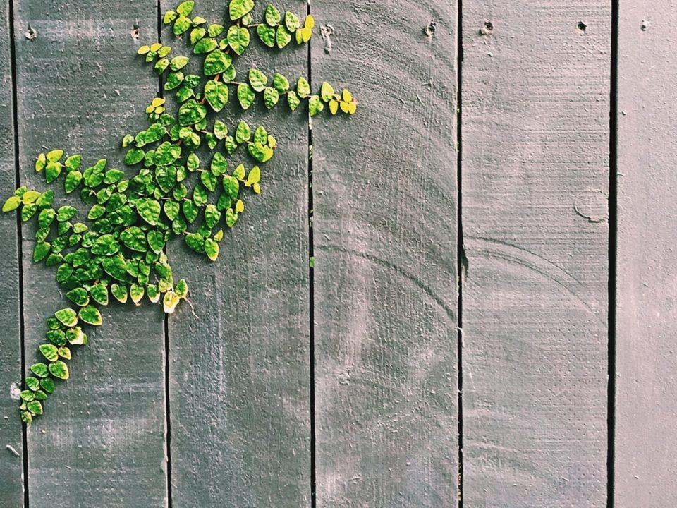 vines for fences